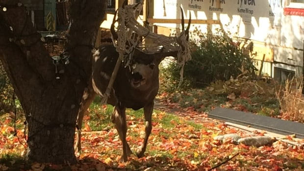 This mule buck had to be sedated so conservation officers could remove a hammock from its antlers.