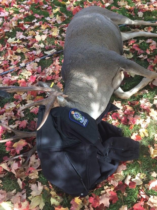 Mule buck sedated