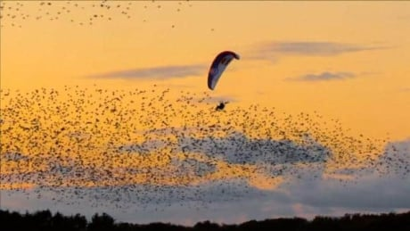Black sun starlings paraglider