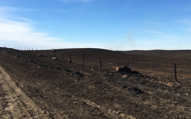 dead cow south of Burstall Sask. after wildfire October 18 2017