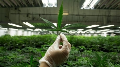 According to Health Canada, 74,013 people in Alberta are registered to receive medicinal marijuana