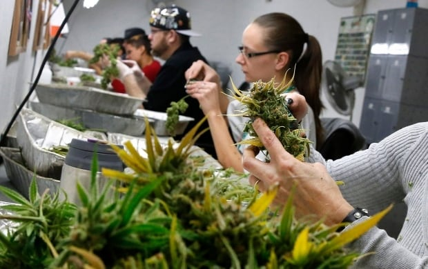 Employees trim away leaves from marijuana plants to be packaged and sold at a dispensary in Colorado
