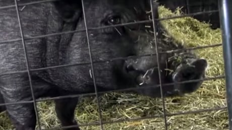 Lyle the 'singing pig' of Surrey needs a new home
