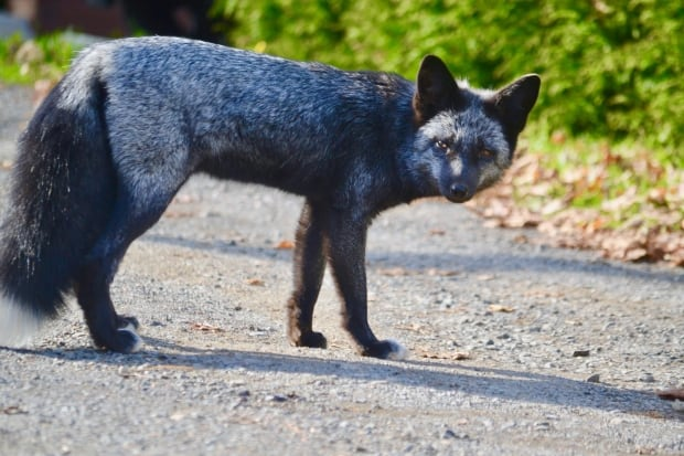silver-fox-new brunswick