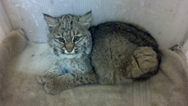 Bobcat rescued by Wildlife Haven Rehabilitation