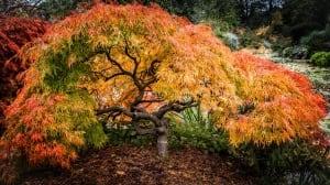 Explosion of Fall colour around a Japanese Maple, VanDusen Garden