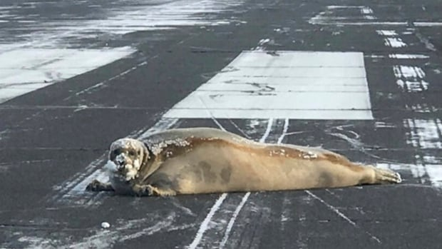 Airport workers have seen birds, caribou, polar bears and musk ox on the Utqiagvik runway, but the seal was a first.