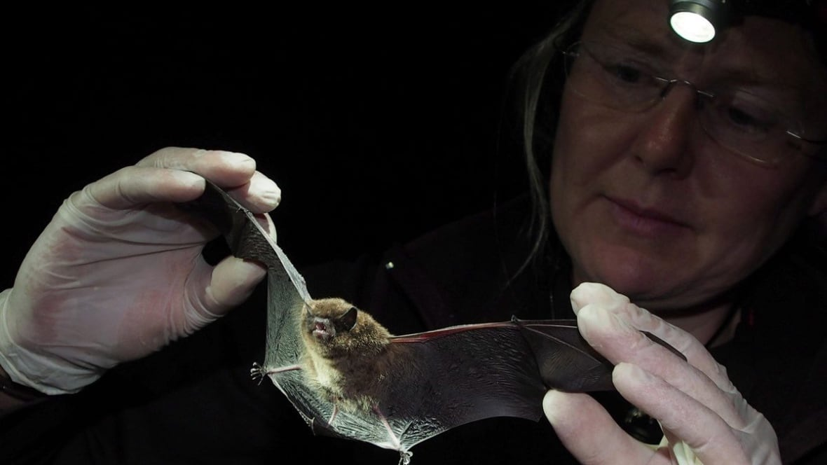 Could probiotics save the bats? Scientists test powder against deadly fungus