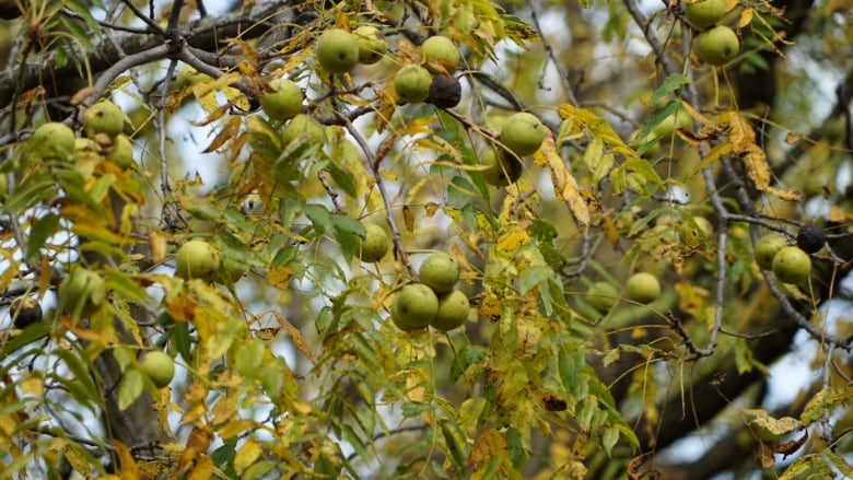 Why walnuts keep falling on our heads this fall | CBC News