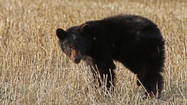 This injured black bear could be seen limping in a field along Highway 22 west of Calgary.