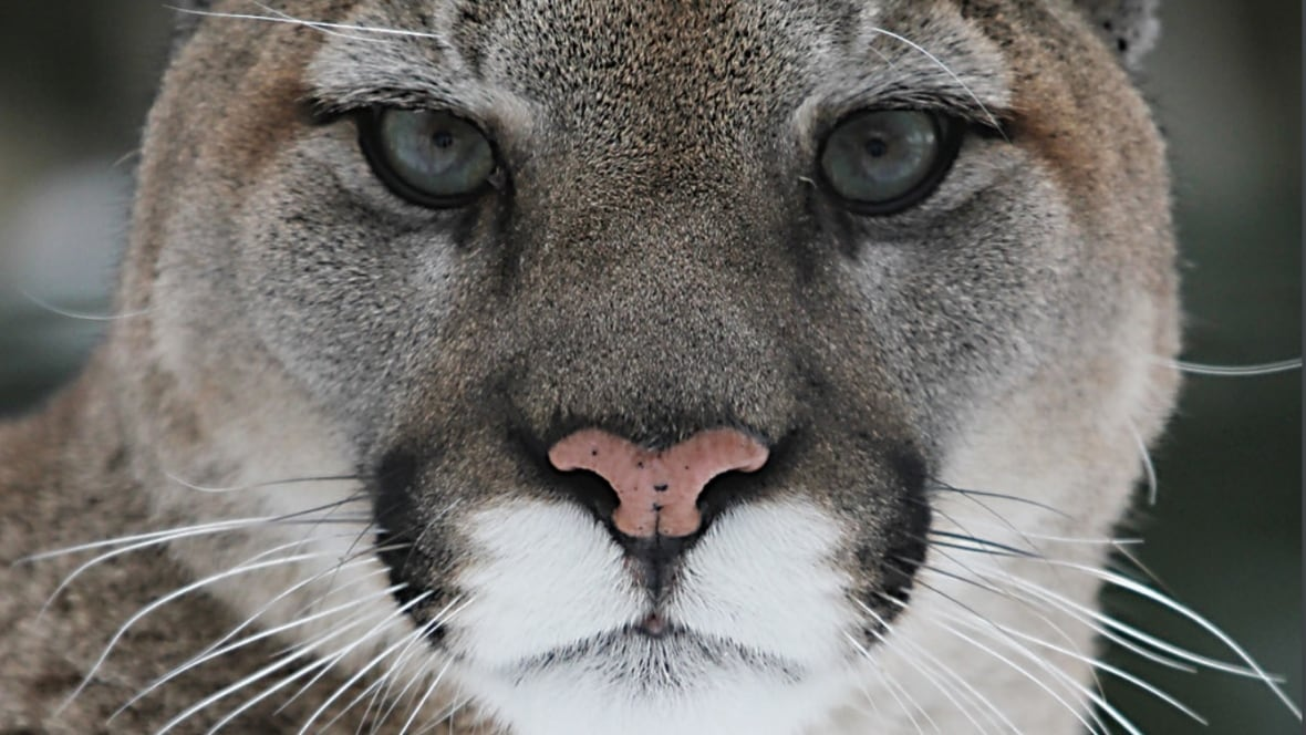 Cougar warning issued for Votier's Flats in Fish Creek Provincial Park