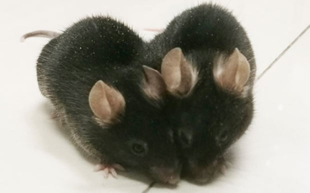 Conjoined mice
