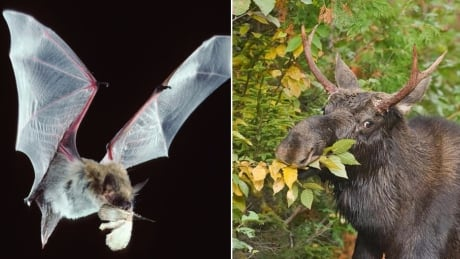 Bat eating, moose eating