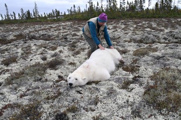 Polar bear census