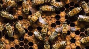 Honey trap: Quebec man under house arrest, fined for stealing 5 million bees in 2016 heist