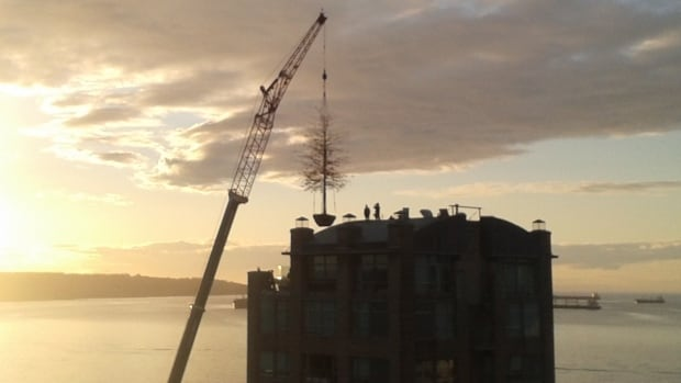 A crane lifts the new 10-metre tall pin oak 60 metres in the air to its new home in English Bay.