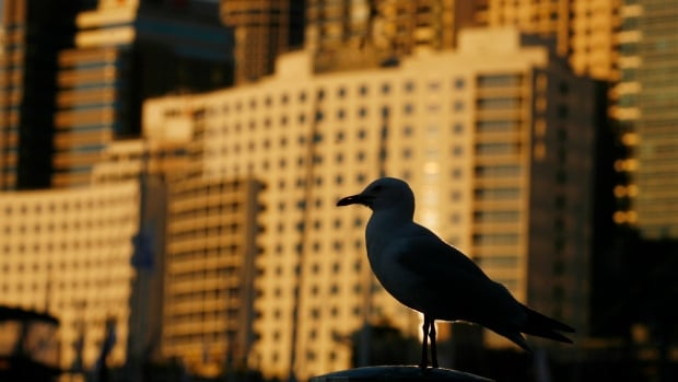 A gull is seen at Darling Harbour in Sydney, Australia. Pollution from cities has been shown to cause higher mutation rates in animals like gulls, which may help drive evolution in urban settings.