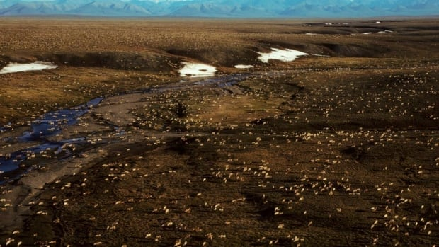 A herd of caribou on the Arctic National Wildlife Refuge in northeast Alaska. State lawmakers have tried for years to open part of the refuge to oil and gas drilling.