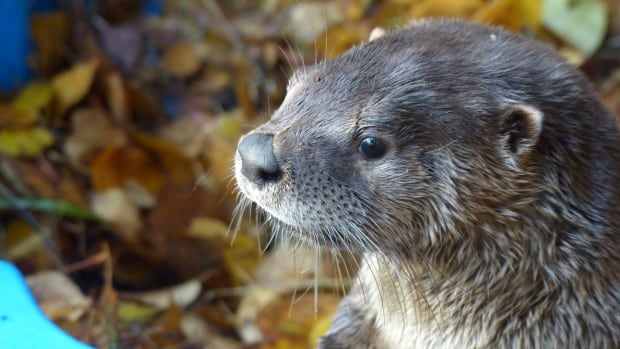 Two river otters have been taken in by the Northern Lights Wildlife Shelter in Smithers, B.C.