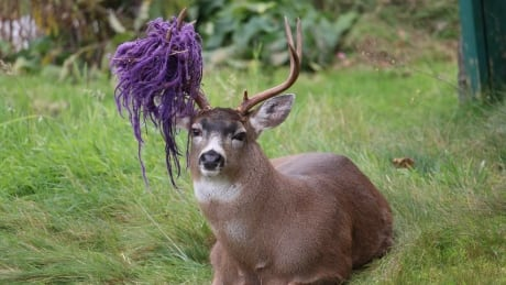 Hammy, the deer with a purple hammock on his head, is evading conservation officers