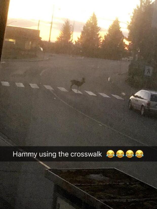 Hammy crosswalk
