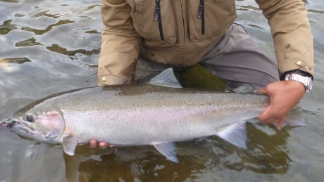 Emergency assessment launched for B.C.'s steelhead salmon