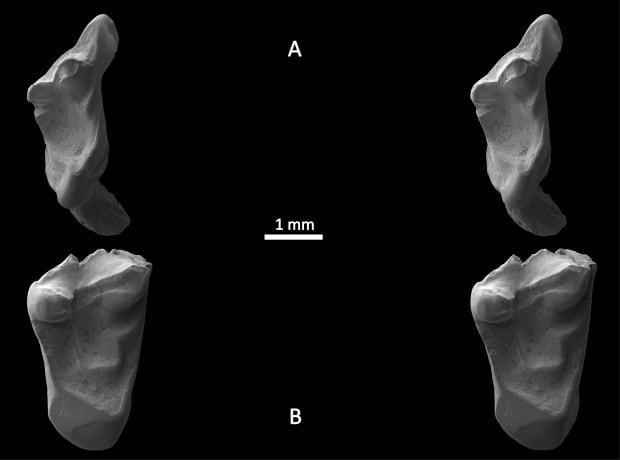 Prehistoric rat-like teeth