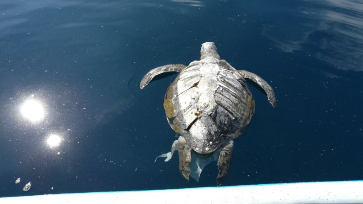Why are hundreds of sea turtles turning up dead off the coast of El Salvador?