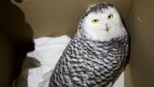 Owl rescue alberta