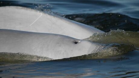 Beluga whales in Churchill