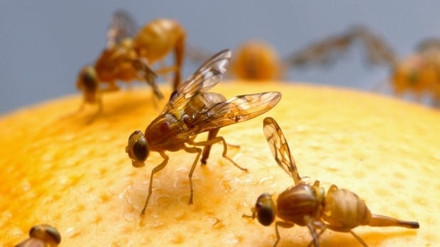 Fruit flies on grapefruit