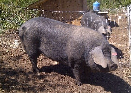 Vancouver Island farmer raises rare breed of giant pig to