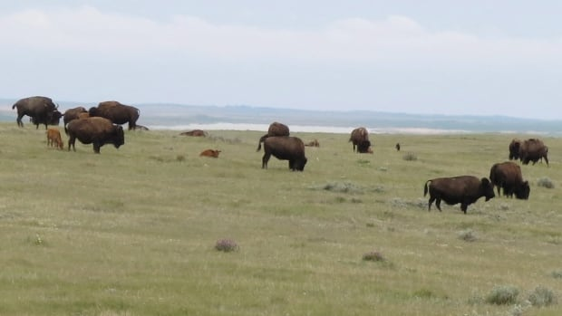 A herd of Prairie bison graze on Old Man on His Back Prairie and Heritage Conservation Area south of Swift Current, Sask in this photo taken June 18, 2015. The area doesn't allow vehicles but hikers are allowed to enter it year round.