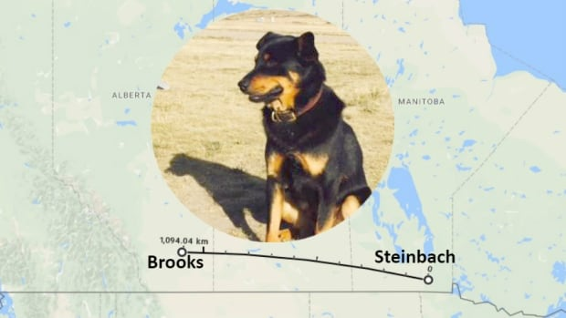 Vader was lost in Brooks, Alta., and later turned up in Steinbach, Man., some 1,100 kilometres away. The dog was reunited with his Alberta family after five weeks away from home.