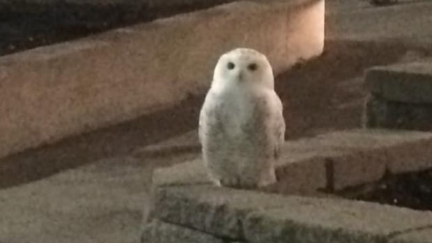 Josh Comeau was eating a Junior Chicken around 1:15 a.m., when a snowy owl landed in front of his car at a McDonald's in Saint John.