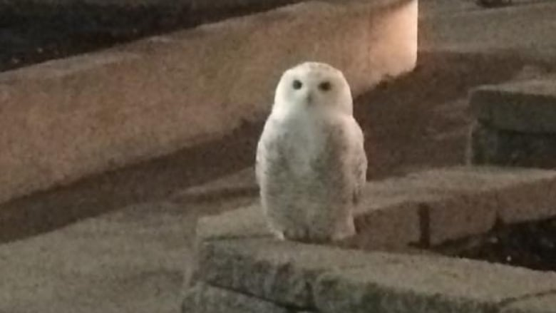 Whooooo Wants Fries Snowy Owl Spotted In Mcdonald S Parking Lot