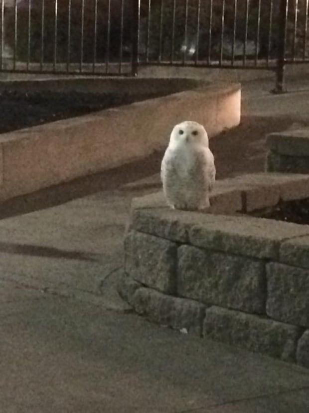 snowy owl mcdonalds