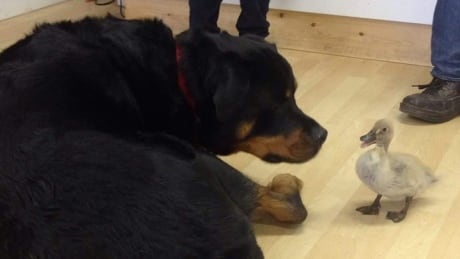 'She absolutely rules the roost': Duck and dog form unlikely friendship at Alberta pet shop