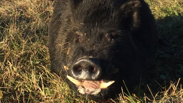 boom in boar population could cause significant issues sask