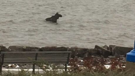 Swimming moose on the loose in North Bay prompts road closure