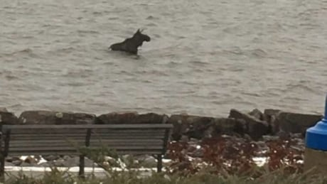 Swimming moose on the loose in North Bay prompted road closure