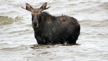 North Bay swimming moose