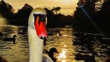Swan in Bowring park
