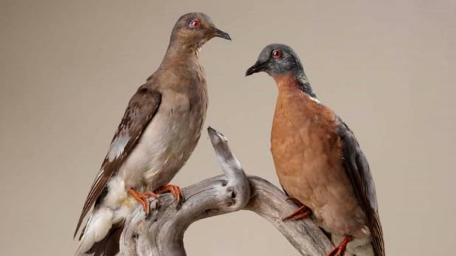 A female, left, and male passenger pigeon (Ectopistes migratorius) mount from the collections of the Royal Ontario Museum.