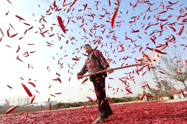 CHINA AGRICULTURE farmer spreads red chili