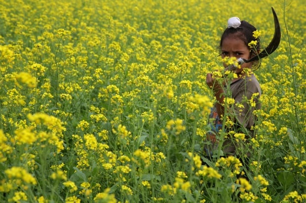 INDIA AGRICULTURE child works on mustard field