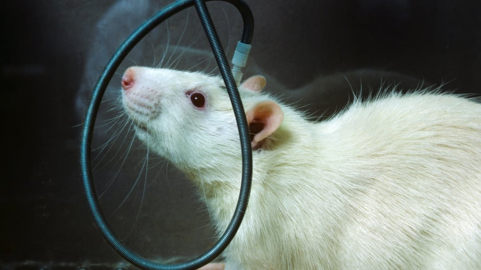 A white rat with an electrode implanted in its head in a research laboratory of the National Institutes of Health in Bethesda, Md. in 1976. Now scientists are using human brain 'organoids' to study the roots of some genetic diseases like frontotemporal dementia.