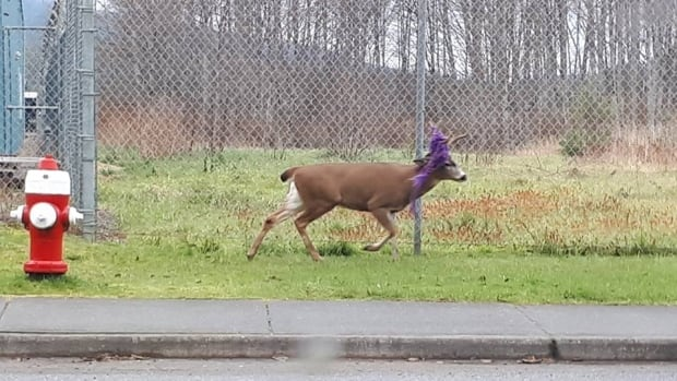 Some photographers have managed to capture photos of Hammy around Prince Rupert, but the deer has proven elusive for the conservation officers tasked with freeing him from his purple hammock.