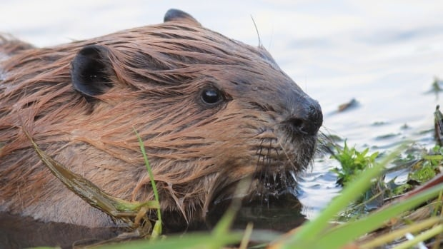 Parks Canada is in a pickle over beavers doing what beavers do on Pender Island in B.C.