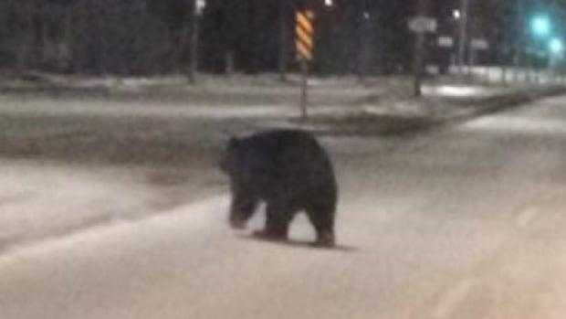 A black bear wanders across Main Street in Steinbach around 4 a.m. Sunday.